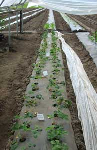 Various strawberry varieties were tested at the UAF Agricultural and Forestry Experiment Station. Plastic soil mulch, row covers (hoops) and high tunnels are being used to extend the season and increase temperatures. Photo by Heidi Rader